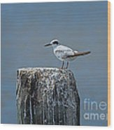 Forster's Tern Wood Print