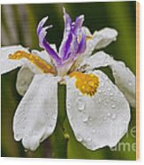 Fortnight Lily - African Iris Wood Print