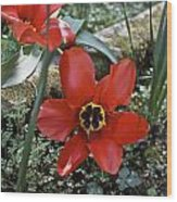 Fosteriana Tulips Red Emperors Wood Print