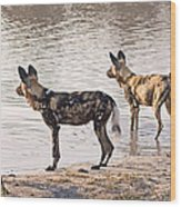 Four Alert African Wild Dogs Wood Print