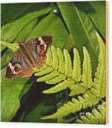 Four Eye Butterfly Wood Print