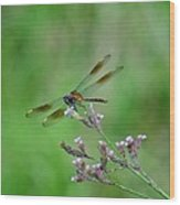 Four-spotted Pennant Wood Print