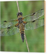 Four-spotted Skimmer Wood Print