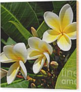 Four Summer Frangipanis Wood Print