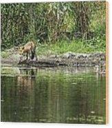 Fox At Water Hole Wood Print