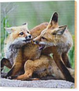 Fox Kits At Play - An Exercise In Dominance Wood Print by Merle Ann Loman