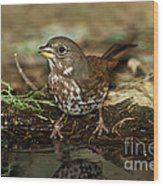 Fox Sparrow Drinking Wood Print