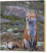 Fox Zen - Algonquin Park Wood Print
