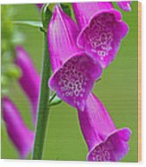 Foxglove Digitalis Purpurea Wood Print