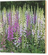 Foxglove Garden In Golden Gate Park Wood Print