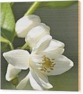 Fragrant Orange Blossoms Wood Print