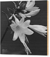 Fragrant Plantain Lily Wood Print
