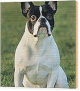 French Bulldog Wood Print