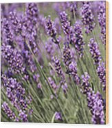 French Lavender Wood Print