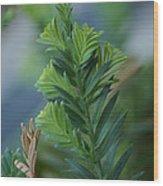 Fresh Growth Redwood Wood Print