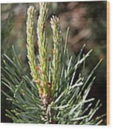 Fresh Pine Sprouts Wood Print