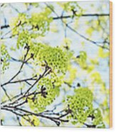 Fresh Spring Green Buds Wood Print