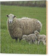 Freshly Made - Winter Lambs Wood Print