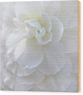 Frilly Ivory Begonia Flower Wood Print by Jennie Marie Schell