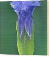 Fringed Gentian With Dew Drop Wood Print
