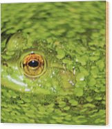 Frog In Single Celled Algae Wood Print