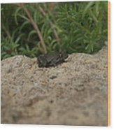 Frog On Rock Wood Print by Corina Bishop