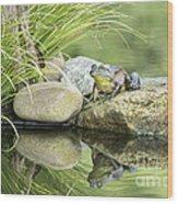 Bull Frog On A Rock Wood Print
