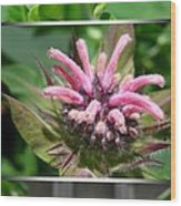 From Bud To Bloom - Bee Balm Named Panorama Pink Wood Print