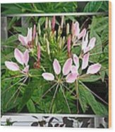 From Bud To Bloom - Cleome Named Pink Queen Wood Print