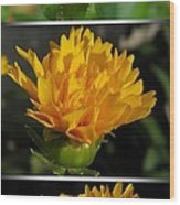 From Bud To Bloom - Coreopsis Named Early Sunrise Wood Print