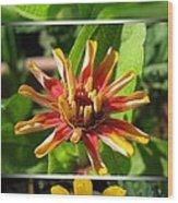 From Bud To Bloom - Zinnia Wood Print