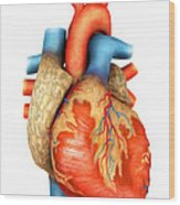 Front View Of Human Heart Wood Print by Stocktrek Images