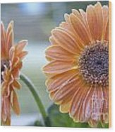 Frosted Gerberas Wood Print
