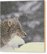 Frosty Coyote Wood Print