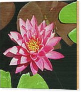 Fuchsia Pink Water Lilly Flower Floating In Pond Wood Print