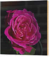 Full Bloom Morning Rose Wood Print