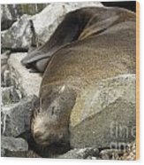 Fur Seal Wood Print