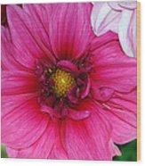 Fushia Pink Dahlia Wood Print