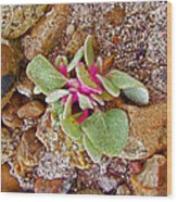Fuzzy Plant On Blue Mesa Trail In Petrified Forest National Park-arizona  Wood Print