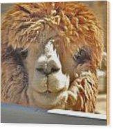 Fuzzy Wuzzy Alpaca Wood Print by Helen Carson