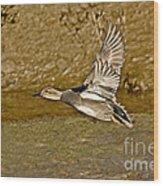Gadwall Drake In Flight Wood Print
