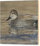 Gadwall On Icy Pond Wood Print