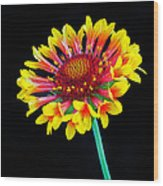 Gaillardia Arizona Sun Wood Print