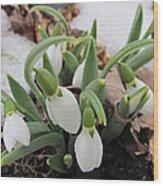 Galanthus Nivalis Snowdrops Wood Print
