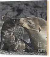 Galapagos Fur Seals Wood Print