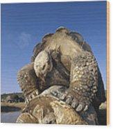 Galapagos Giant Tortoise Mating Alcedo Wood Print