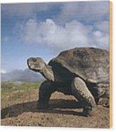 Galapagos Giant Tortoise On Alcedo Wood Print