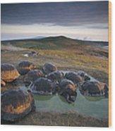 Galapagos Giant Tortoise Wallowing Wood Print