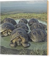 Galapagos Giant Tortoises Wallowing Wood Print