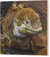 Galapagos Land Iguana  Wood Print by Allen Sheffield